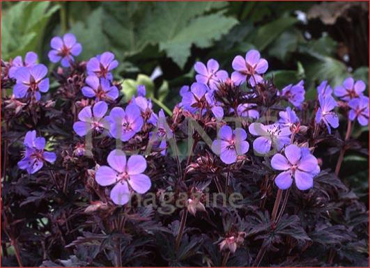 Geranium 'Black Beauty'